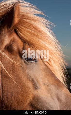 Retrato del caballo islandés, Islandia