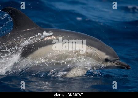 Corto-Picuda, Delfín Común Delphinus delphis, Gemeiner Delfin, Pico, Azores, Portugal