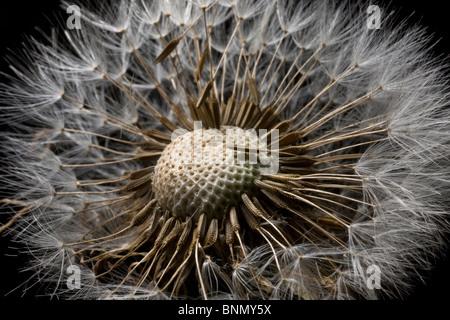 Vista macro de una flor Dandilion destinado a semilla, Alaska Foto de stock