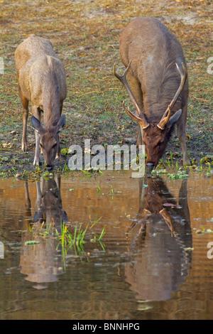 Un par de ciervos Sambar (Cervus unicolor) disfrutando de una bebida temprano por la mañana.
