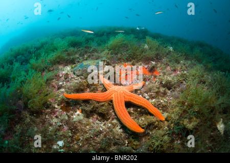 Starfish en Arrecife de Coral rojo, Echinaster sepositus, el Cap de Creus, Costa Brava, ESPAÑA