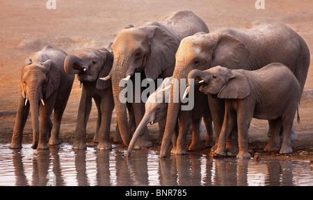 Manada de elefantes bebiendo en un abrevadero en Etosha desierto (Loxodonta Africana) Foto de stock