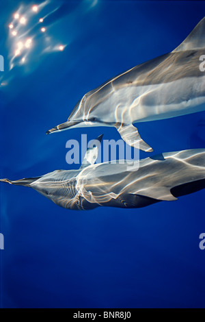 Delfines hawaiano, Stenella longirostris longirostris, comunicando con aletas pectorales mientras bow-caballo