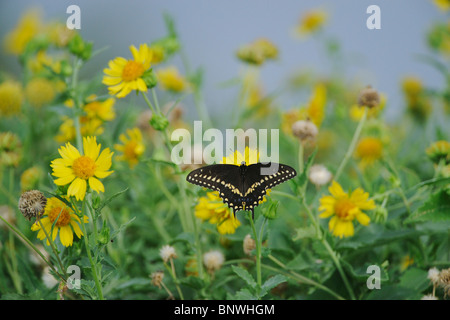 Papilio polyxenes (especie), adulto alimentándose en Huisache-Daisy (Amblyolepis setigera), Sinton, Corpus Christi, Texas