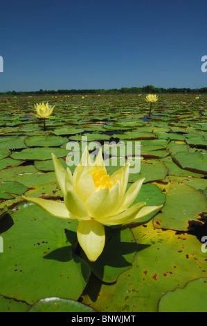 Waterlily amarillo (Nymphaea mexicana), floreciendo en el lago, Fennessey Ranch, refugio, Coastal Bend, la costa de Texas, EE.UU.