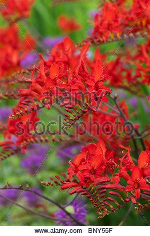 Crocosmia lucifer flores en un jard n ingl s foto imagen for Cancion jardin de rosas en ingles