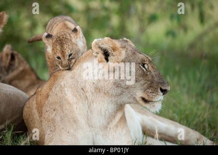 Madre con un cachorro de león, Maasai Mara, Kenia
