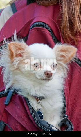 Este lindo perro Chihuahua blanca de pelo largo es viajar en la parte de atrás de una niña backback color burdeos. Foto de stock