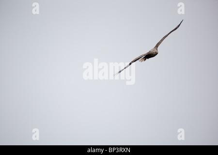 Un águila de cola blanca, Haliaeetus albicilla, que se eleva en la niebla por encima de la isla Runde en la costa oeste del Atlántico, Noruega.
