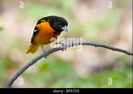 Baltimore oriole macho adulto en plumaje nupcial posado en una rama