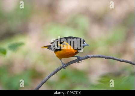 Macho adulto de Baltimore oriole posado en una rama