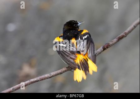 Macho adulto de Baltimore oriole posado en una rama después de un baño
