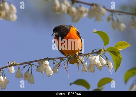 Macho adulto de Baltimore oriole encaramado en un árbol Silverbell Carolina