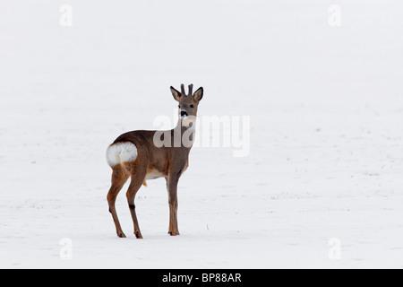 Buck corzo (Capreolus capreolus) mirando hacia atrás y mostrando las nalgas parche blanco en el campo en invierno en la nieve, Alemania