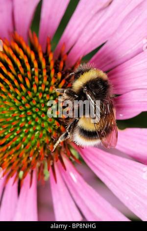 Una abeja cuco, Bombus sylvestris, alimentándose de una purple coneflower, Echinacea purpurea Foto de stock