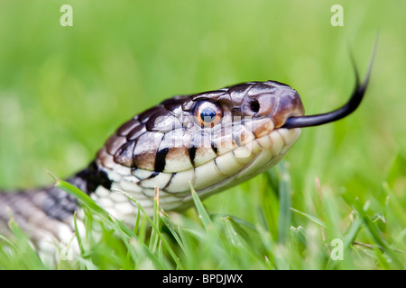 Culebra; Natrix natrix; moviendo la lengua en el césped
