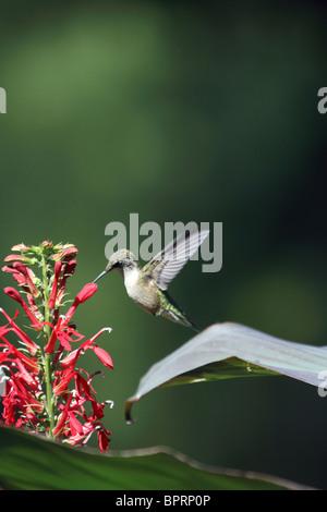 Ruby-throated Hummingbird, Archilochus colubris, sobrevolando cerca rojo cardenal Flores. Ejecutar Leamings Jardines, Cape May, NJ Foto de stock