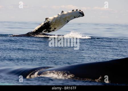 Una ballena jorobada flipper palmadas con sus aletas pectorales en el Golfo de Maine, Maine.
