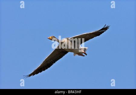 Un Graylag capturados en vuelo en el sol de invierno en Slimbridge WWT Gloucestershire