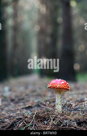 """Amanita muscaria, la del """"reig bord"""" las setas en un bosque inglés."""