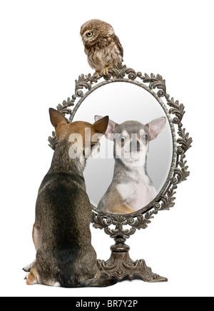 Chihuahua y un pequeño búho, de 50 días de antigüedad, Athene noctua, delante de un fondo blanco con un espejo