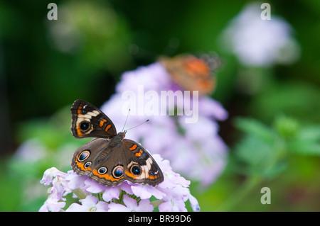 Buckeye común (Junonia coenia) butterfly
