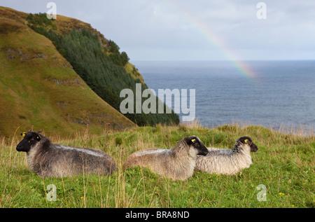 Ovejas descansando sobre las verdes colinas de la isla Runde en Herøy kommune, Møre og Romsdal, la costa oeste de Noruega.