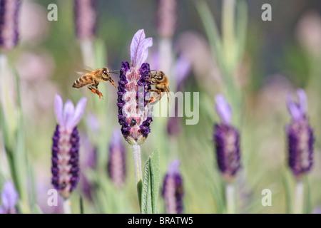 La miel de abeja. Dos abejas de miel Europeas ( Apis mellifera ) en una flor de lavanda francesa ( Lavandula stoechas ). También conocida como La Abeja de Miel occidental.