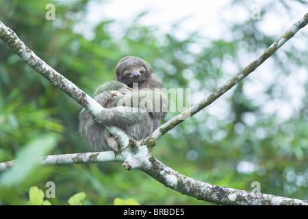 Perezoso de tres dedos (Bradypus variegatus) sentado en un árbol, el Arenal, La Fortuna, Costa Rica, Centroamérica