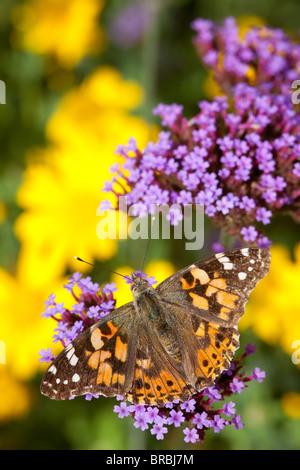 Painted Lady butterfly, Vanessa cardui, descanso y alimentación de néctar rico Verbena bonariensis, en un jardín de vida silvestre en Lincoln, Lincolnshire