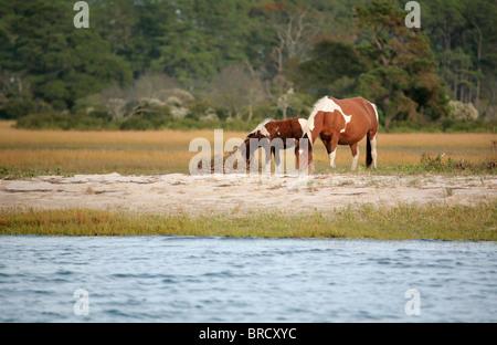 Dos potros salvajes de la manada de Virginia en Assateague National Park pastando cerca del borde del agua