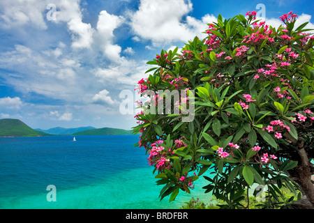 Plumeria en flor y velero pequeña isla frente a San Juan. Islas Vírgenes de los Estados Unidos. Parque Nacional de las Islas Vírgenes.