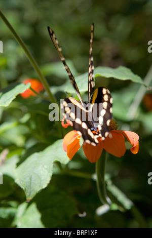 Ángulo trasero de la especie de mariposa, dos pares, juego de aleta, espalda, descansando sobre una flor