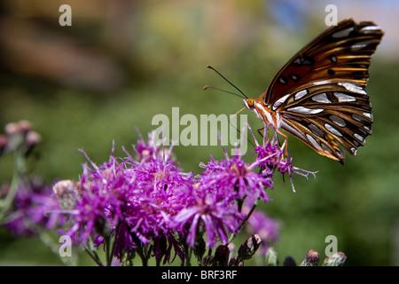 Painted Lady butterfly aterrizan en una flor morada, beber usando su probóscide Foto de stock