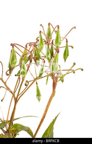 Bálsamo del Himalaya es una plaga planta en muchas partes de Alemania