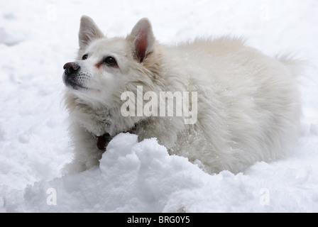 Un americano blanco Perro Husky en nieve mira beseechingly a su propietario