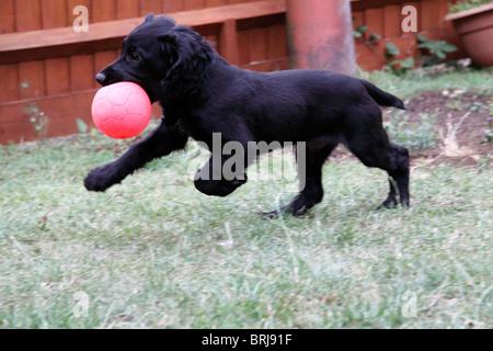 Cachorro Cocker Spaniel negro