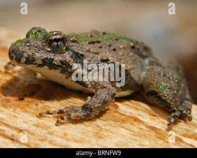Blanchard's Cricket sapo (Acris crepitans blanchardi)