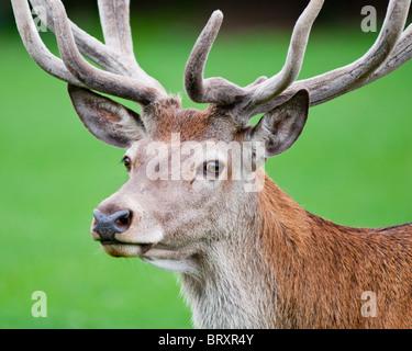 De cerca una Red Deer ciervo- Cervus elaphus Foto de stock