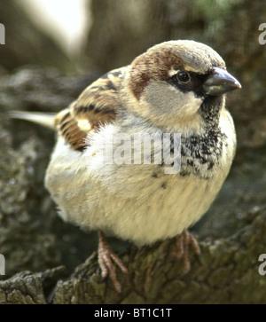 Gorrión gorrión (Passer domesticus) Bien amados pájaros británica ahora en serio declive. Los jóvenes varones.