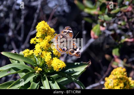 Una común Junonia coenia Buckeye, mariposas, en Seaside Goldenrod, Solidago sempervirens. Lavalette, Nueva Jersey, EE.UU.