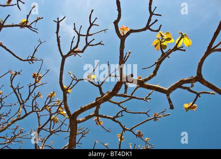 Las ramas de los árboles en Brasil