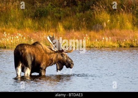 Un gran bull moose vadeas a través de un estanque de permafrost en Denali National Park, cerca de lago de maravilla, interior de Alaska, caída