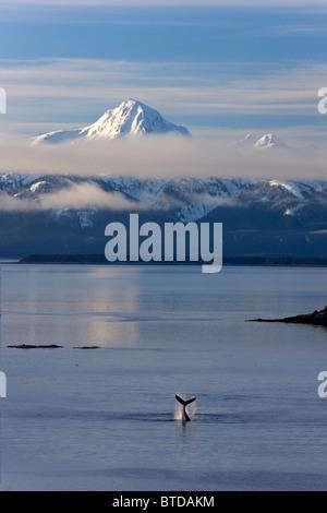 Ballena Jorobada bofetadas su aleta caudal sobre la superficie, Lynn Canal Chilkat, montañas de fondo, compuesto de Alaska