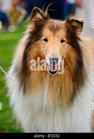 Retrato de sable y blanco de pelo largo perro collie (aproximadas)