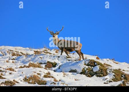 Ciervo ciervo en nieve Foto de stock