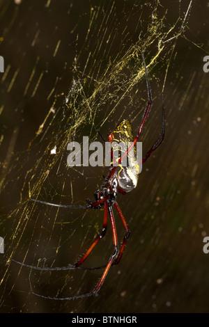 Nephila madagascariensis, orb araña, Madagascar