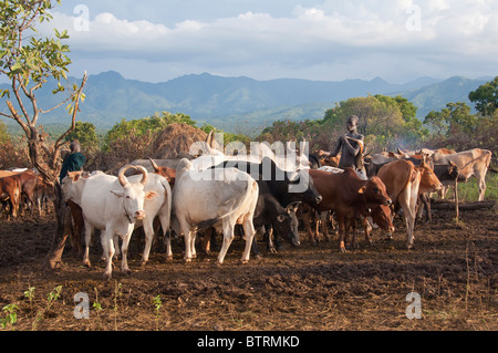 Surma herder con ganado cerca de Tulgit, Valle del río Omo, Etiopía
