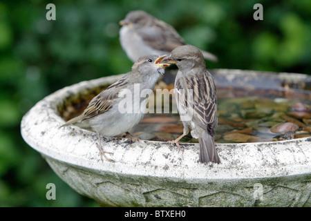 Gorrión (Passer domesticus), aves jóvenes pidiendo comida de madre, Alemania Foto de stock