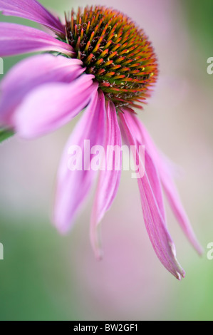 Una sola purple coneflower - Echinacea purpurea Foto de stock